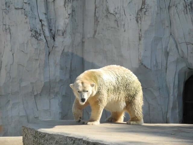 zoo-karlsruhe-ours-blanc