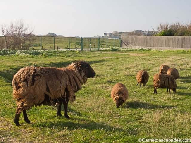 moutons-noirs-ouessant-hotel-chateau-sable-porspoder