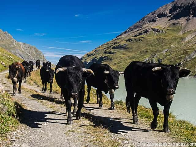 troupeau-vaches-herens