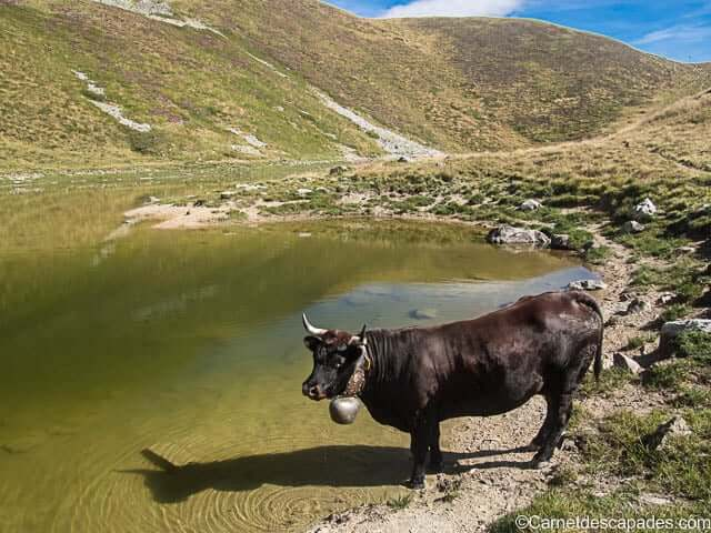vache-gouille-tour-val-herens