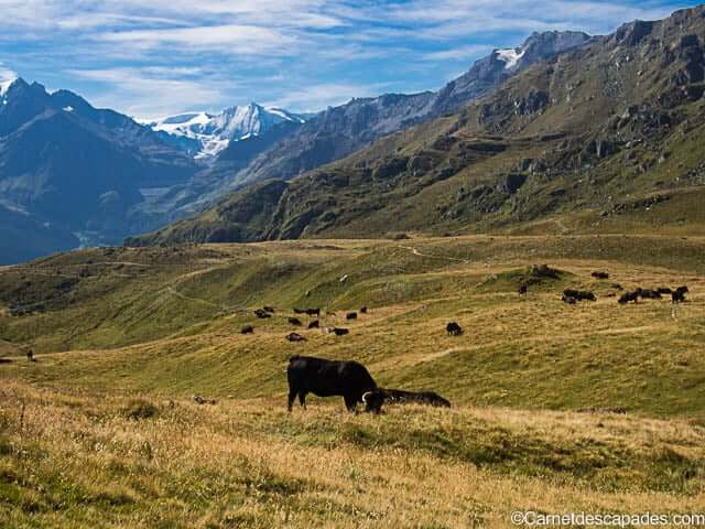 vaches-gouilles-val-herens