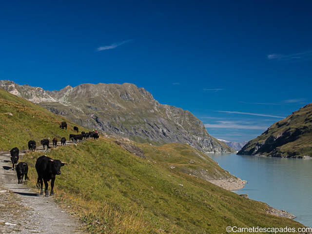 vaches-herens-lac-dix