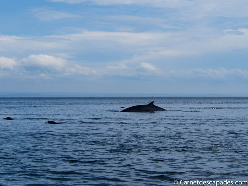 Expérience canadienne – Aller voir les baleines au Québec