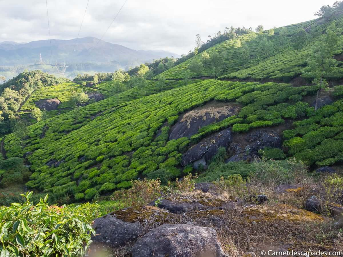 munnar-plantations-the
