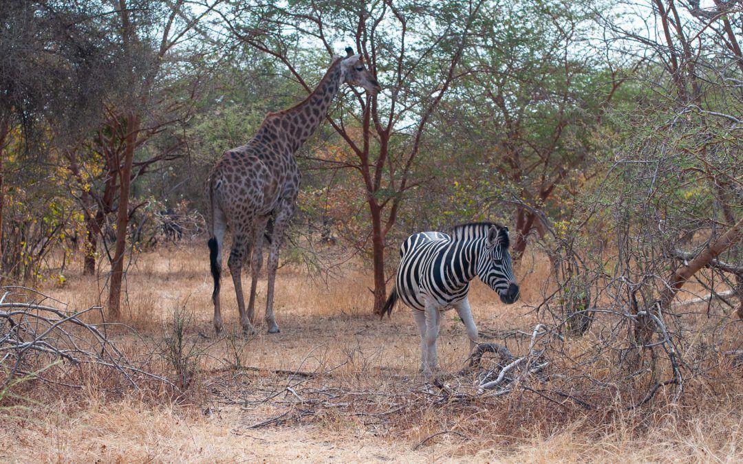 Réserve de Bandia – Un mini safari au Sénégal
