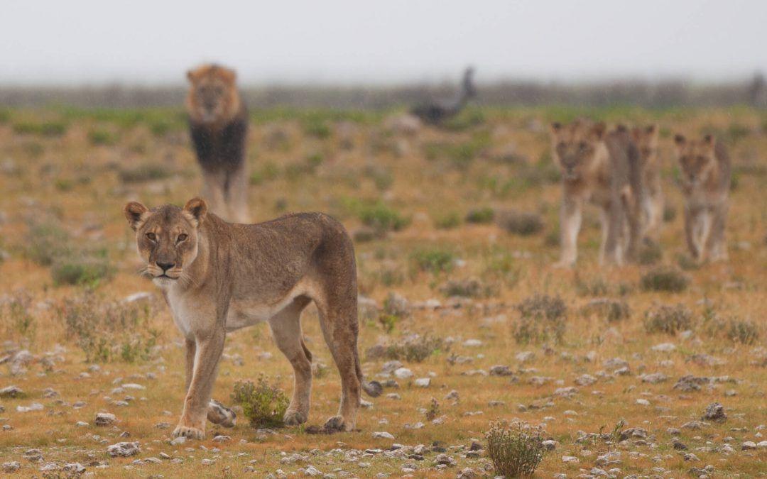 Etosha – Safari dans le célèbre parc national de Namibie