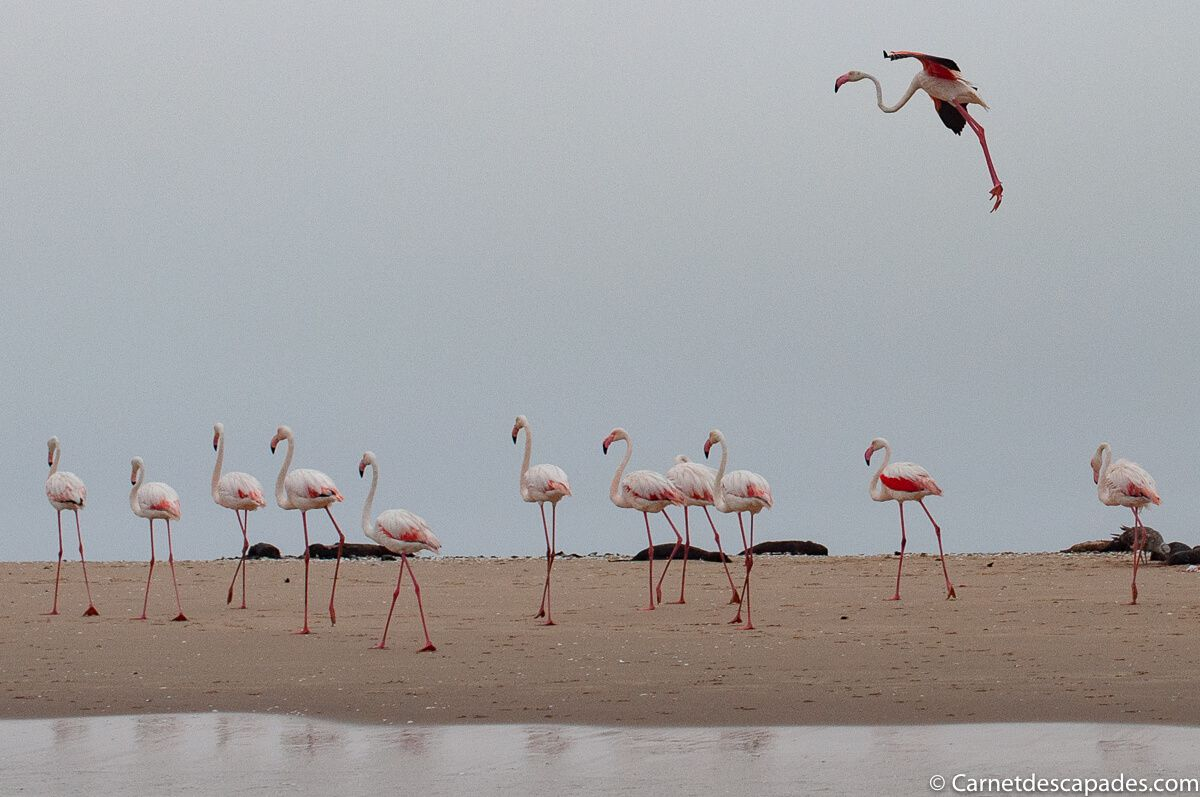 flamants-roses-pelican-point